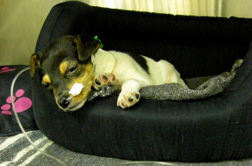 Canine Parvovirus in Australia